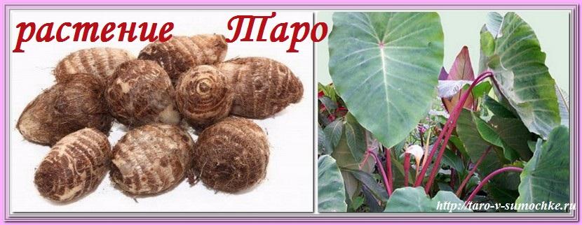 растение Таро